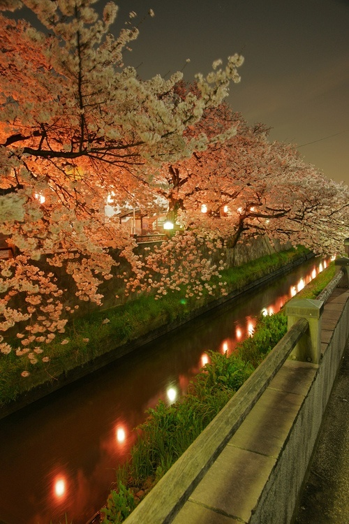 Cherry Blossom Evening, Sakura