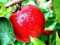 Sehat Dengan Buah Apel