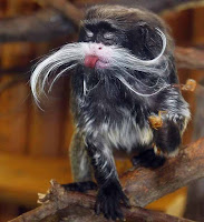 Emperor Tamarin Photos and Pictures 14