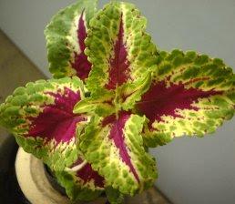 Coleus Pumilus Plant