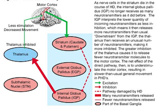 direct pathway mechanism Huntington's disease pathophysiology medical health treatment therapy