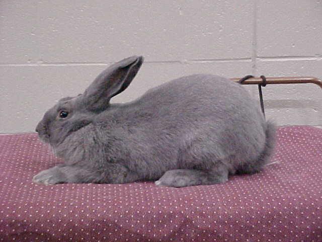 جميع انواع الأرانب بالصور ومعلومات عن كل نوع beveren.jpg