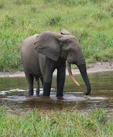 Ciri-ciri Khusus Gajah dan Fungsinya