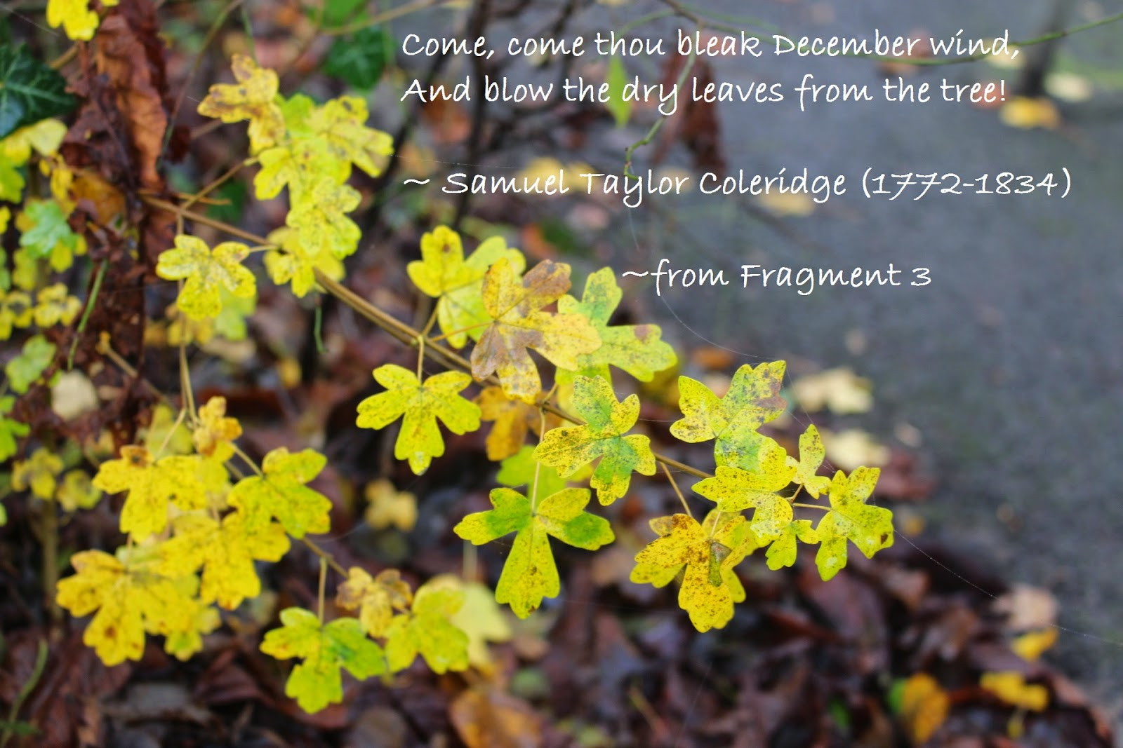 Many yellow leaves are still on the trees in my garden, December 2014