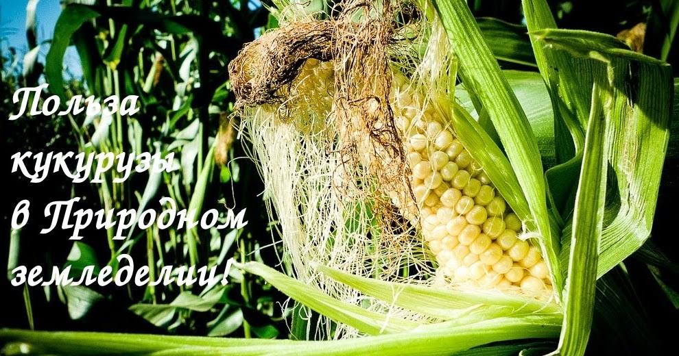 Выращивание кукурузы на початки 53