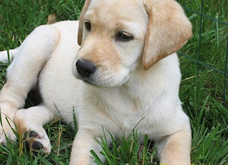 labrador retriever dog puppy puppies photo