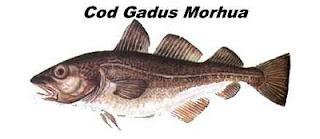 Cod Gadus Morhua, o bacalhau autêntico