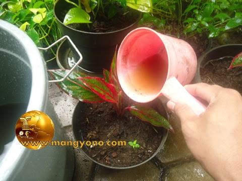 Cara menggunakan pupuk organik cair pada tumbuhan