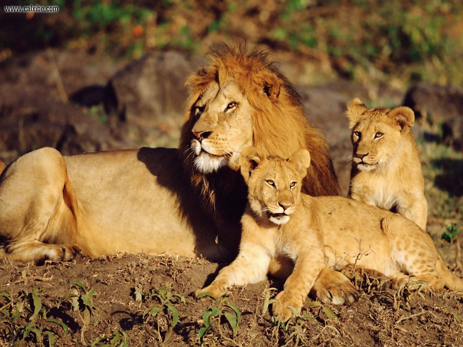 african lions - photo #12