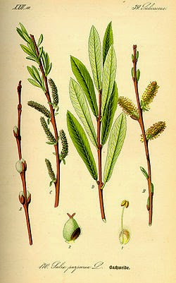 WIERZBA PURPUROWA (Wiklina) Salix purpurea