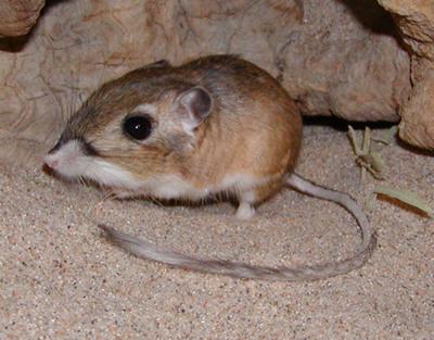 Kangaroo rats |Funny Animal