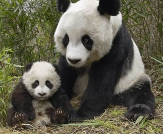 Ilmuwan Paksa Anak Panda Tonton DVD Porno