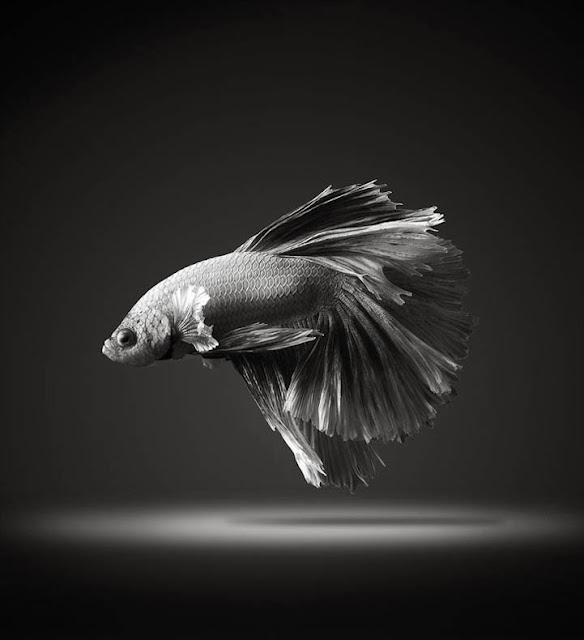 Aletas fluyendo de los peces luchadores siameses