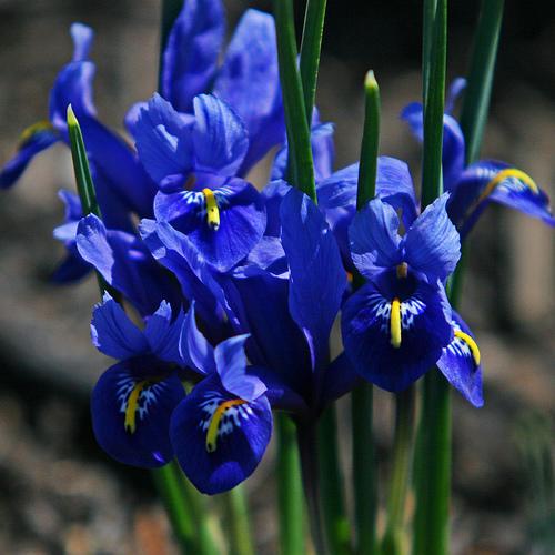 Скачать песню iris