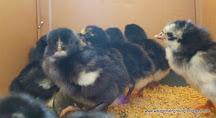 มีลูกไก่ประดู่หางดำจำหน่าย