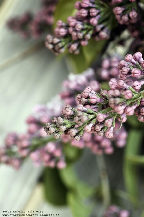 syrén, syréner, blommor, vårblommor, bukett, buketter, syrénträd,