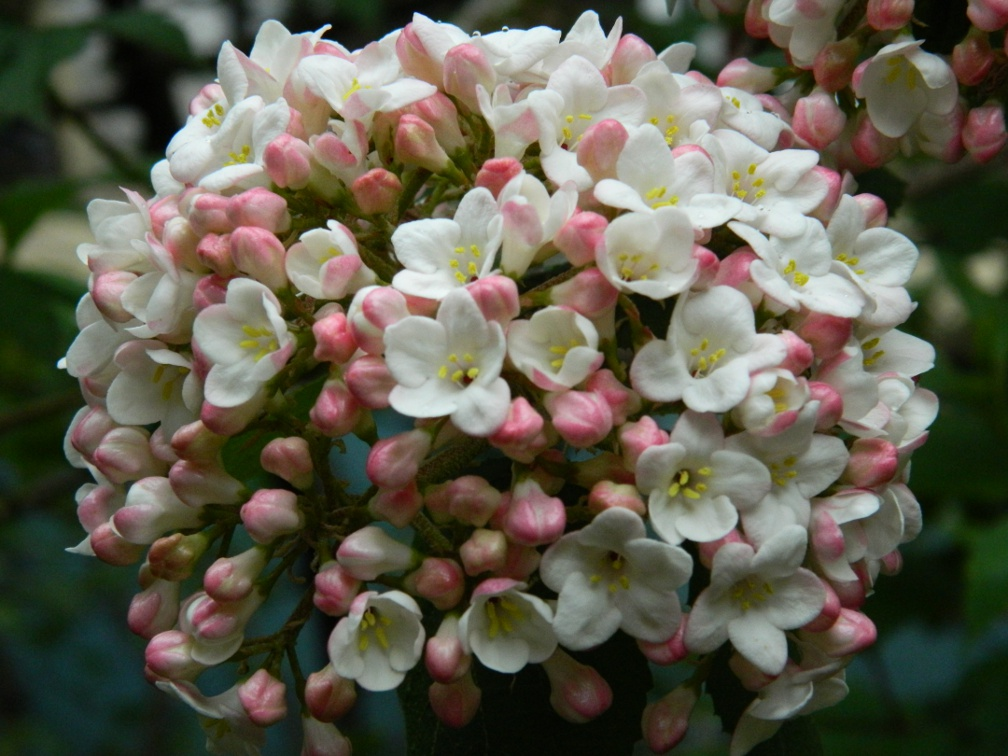 Fragrant Snowball viburnum x carlcephalum bloom detail by garden muses: a Toronto gardening blog