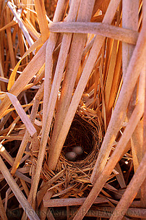 Red-winged Blackbird nest and eggs (c) John Ashley
