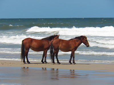 Watching wild horses on the beach