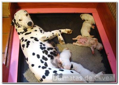 dalmata de cliveal con sus cachorros