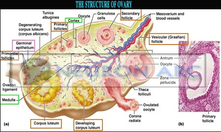 The Ovaries: Structure, Histological parts, Functions and Hormones
