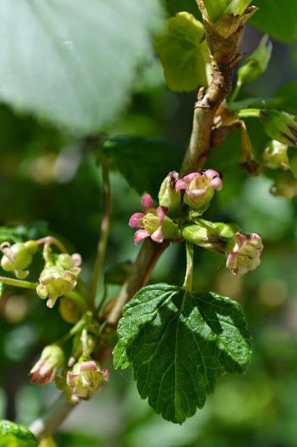 цветы смородины