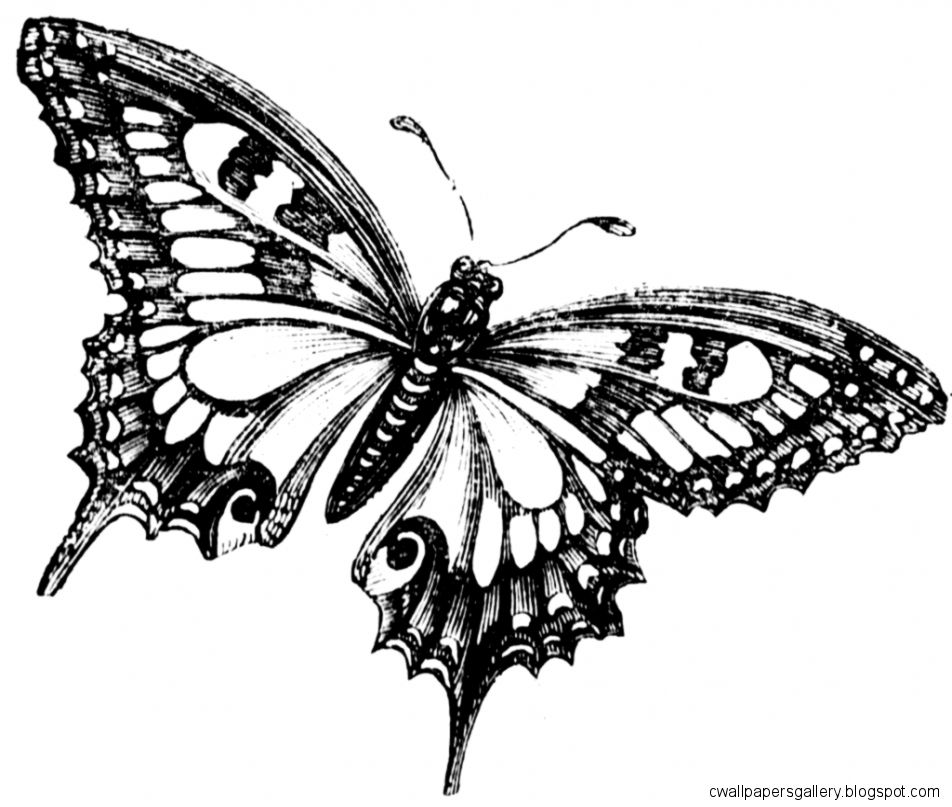 Butterfly Drawing Black And White   ClipArt Best