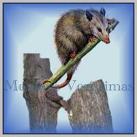 Os marsupiais têm uma bolsa ventral onde carregam os filhotes em desenvolvimento
