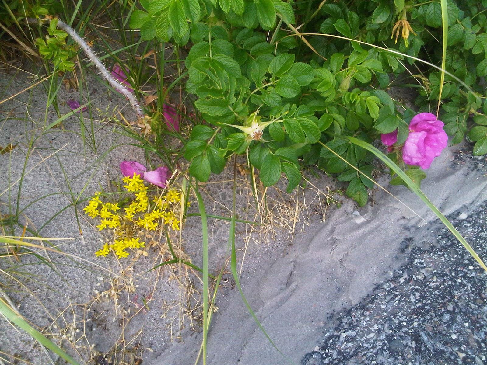 Heckenrosen und Blumen in den Dünen am Strand von Kalifornien