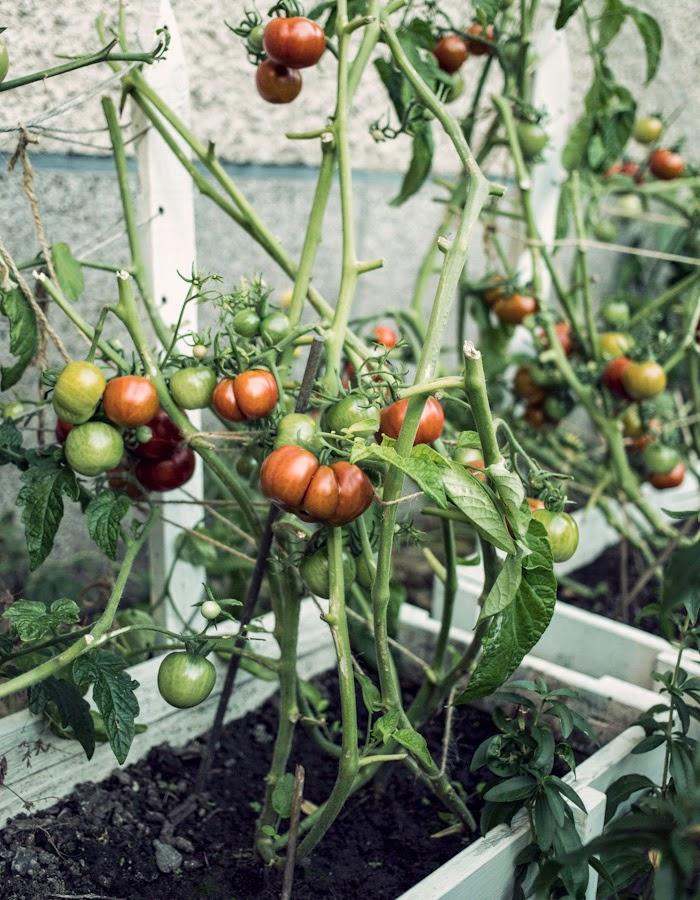 tomatoes blog: www.gretchengretchen.com photo: www.kreettajarvenpaa.com