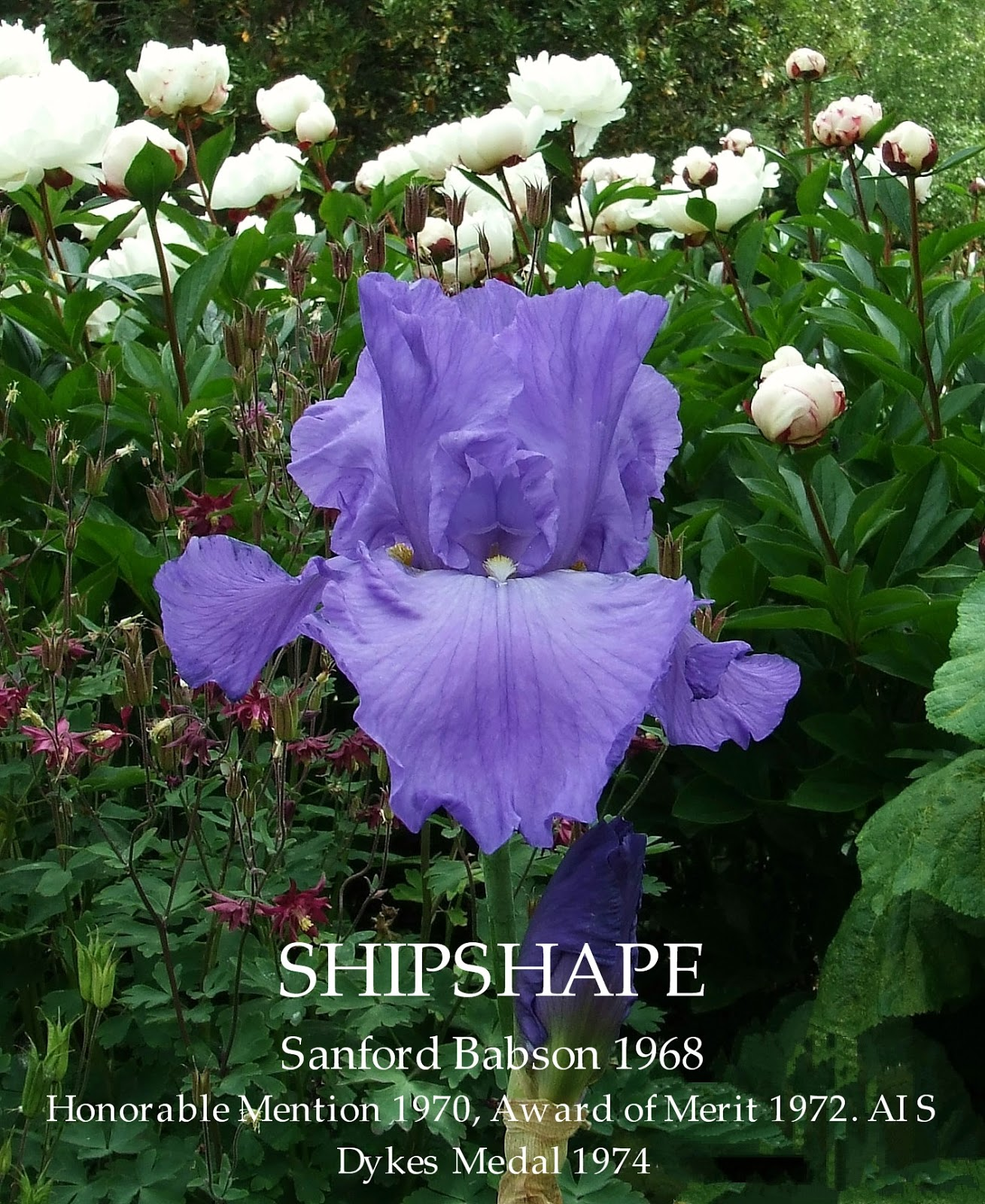 Tall Bearded Iris Shipshape Heritage Irises