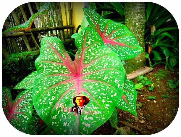 Bunga keladi / Bunga Talas tanaman yang gampang tumbuh dan perawatannya