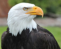 Depression Bald Eagle Jack Look Right