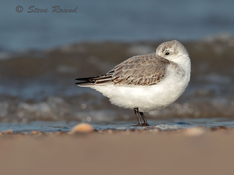 sanderling, bird, wader, nature, wildlife