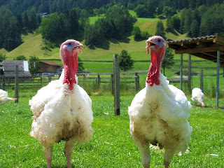 Turkeys Bird Pictures