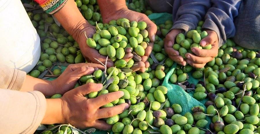 Zeytin Kanunu Tasarısına Tepki: '25 Dekarın Altında Kalan Zeytinlikler Tehlikede'