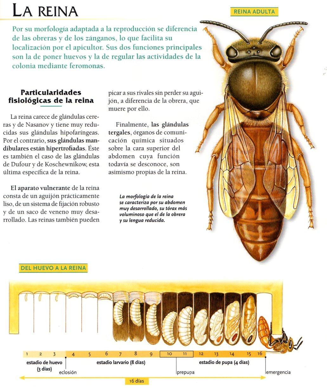 Perfecto Anatomía Abejorro Friso - Imágenes de Anatomía Humana ...