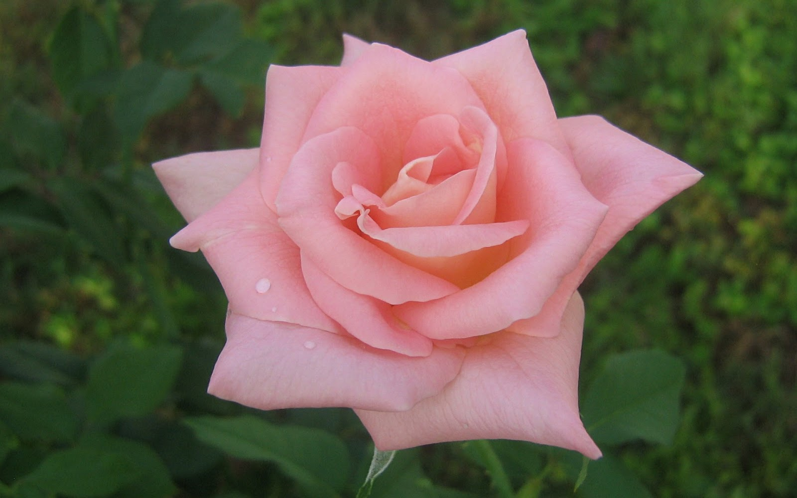 Canada Floral Delivery Blog The Varying Emotions Of A Rose