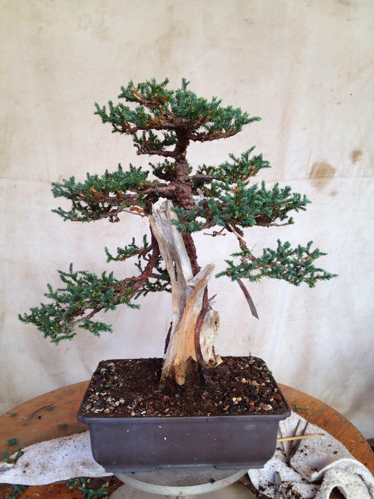 Bonsaibp39s Bonsai Blog
