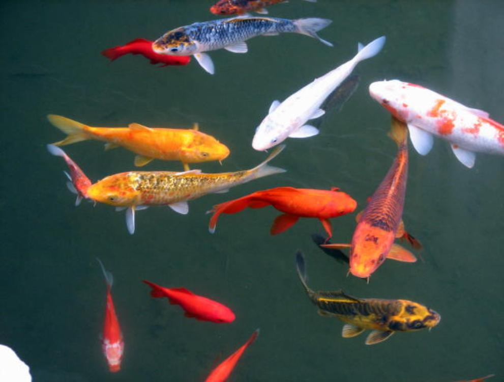 The blog of brian champagne polluting the pond for Koi pond fish