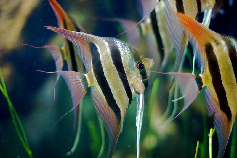 Freshwater Tropical Aquarium Fish Angelfish