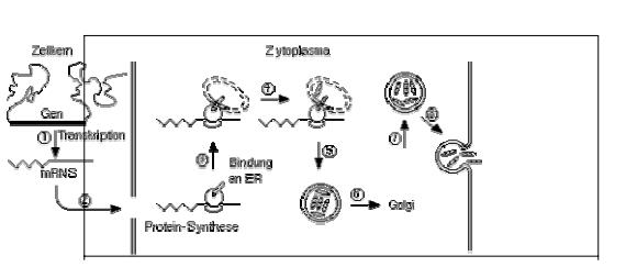 Kerja hormon dalam mempengaruhi transkripsi gen