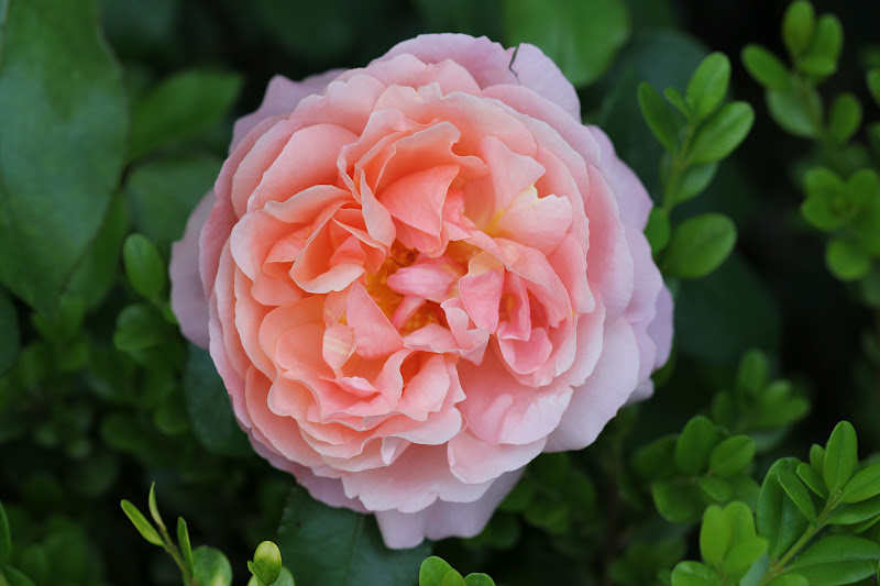 The petals are also very soft  Falling Light Pink Rose Petals