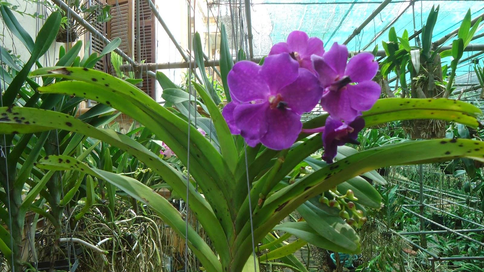 phong lan Vanda tim