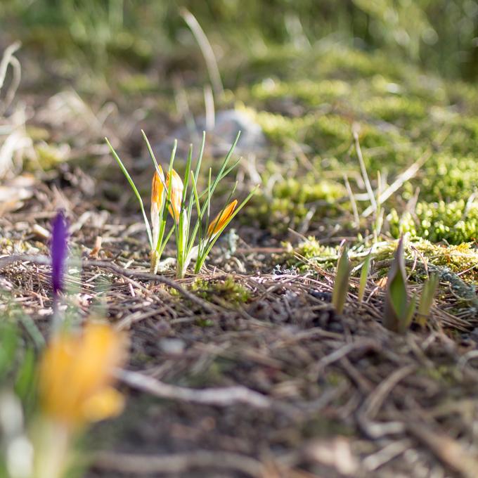 keltainen krookus kevät ensimmäiset sipulikasvit