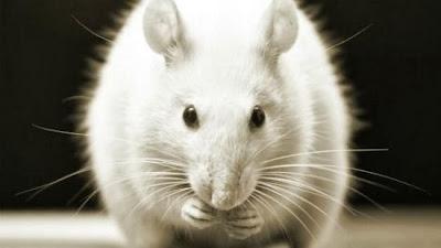 Interpretação e Significados dos Sonhos com Rato