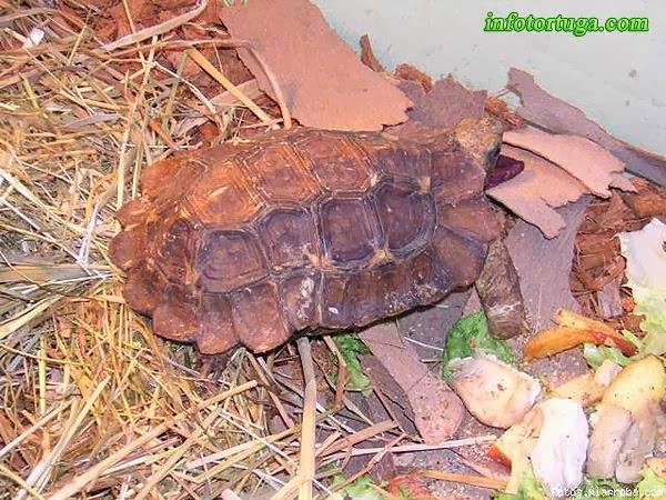 Kinixys homeana - Tortuga articulada de Home