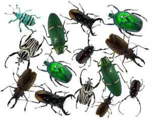 Whirligig Beetle  Z Pond Critters  Google Sites