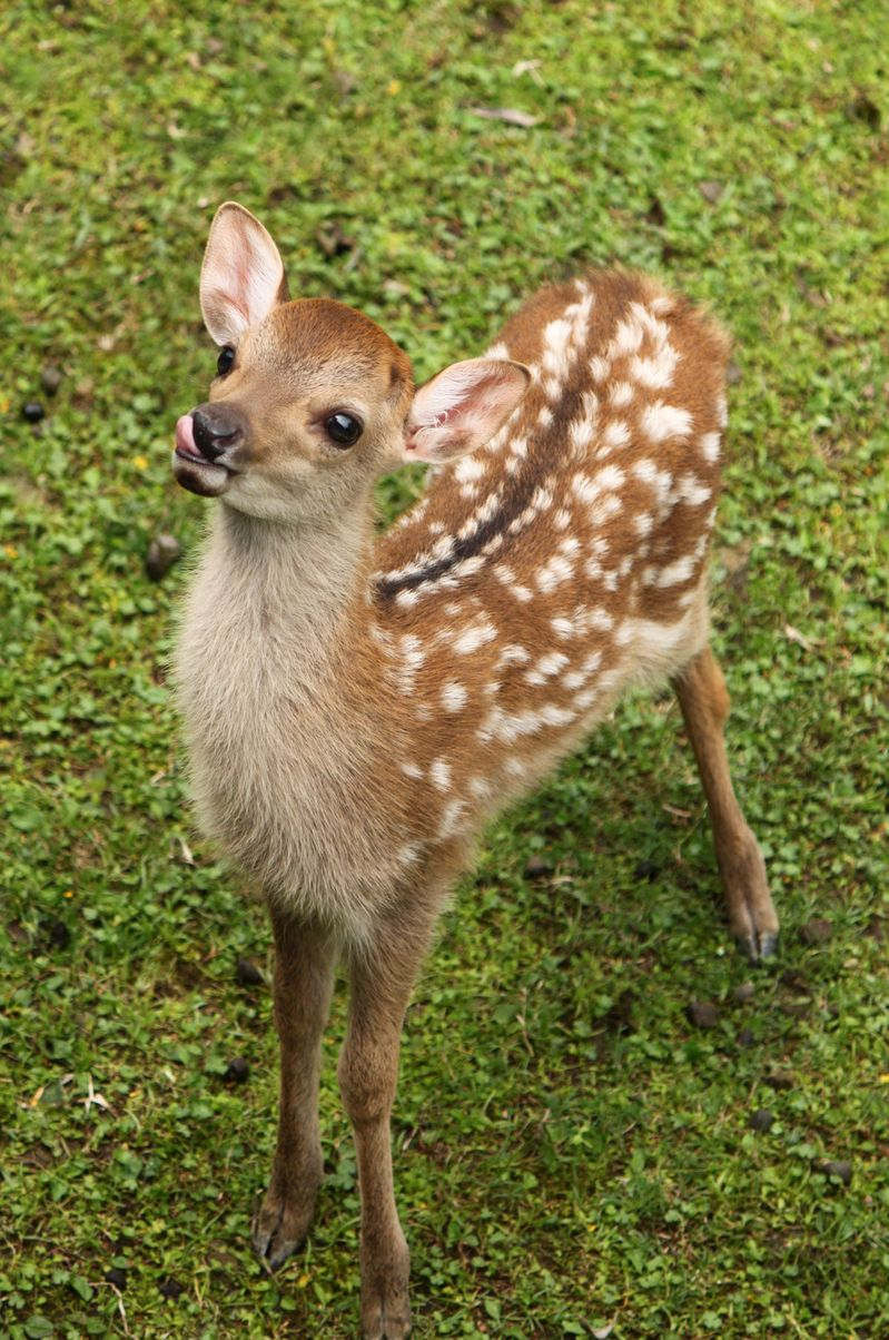 baby whitetail fawn in - photo #36
