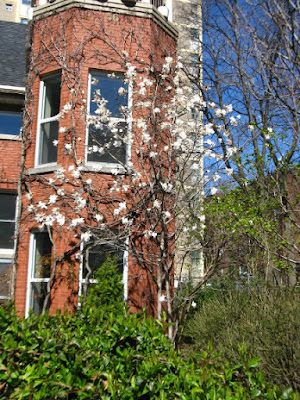 Blooming star magnolia magnolia stellata at Paul Kane House gardens by garden muses: a Toronto gardening blog